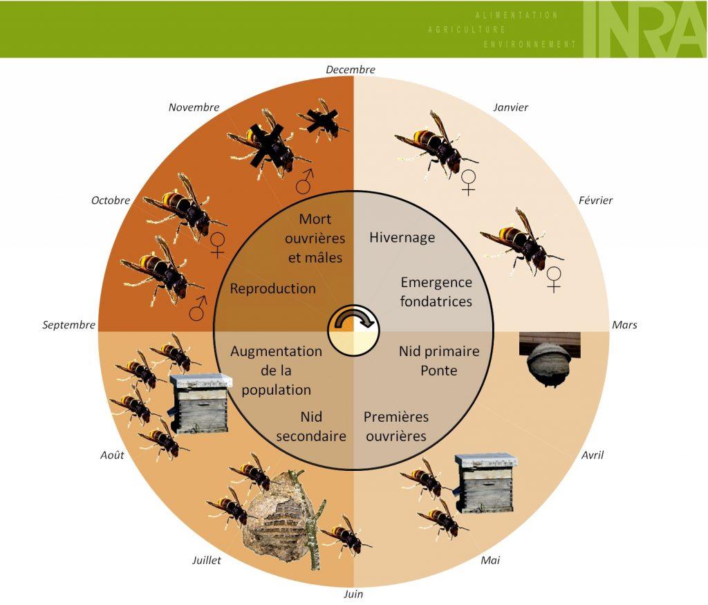 asian wasp cycle